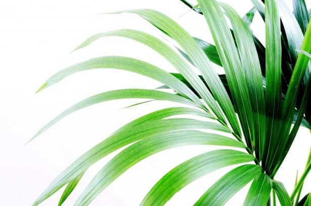 palmier plantes vertes
