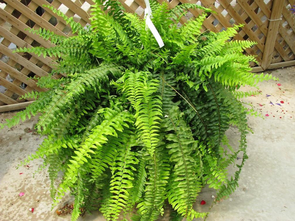 fougère de Boston plantes vertes