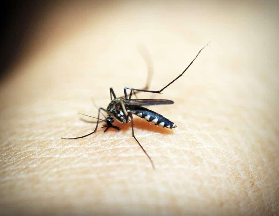 A quoi servent les guêpes ? moustiques