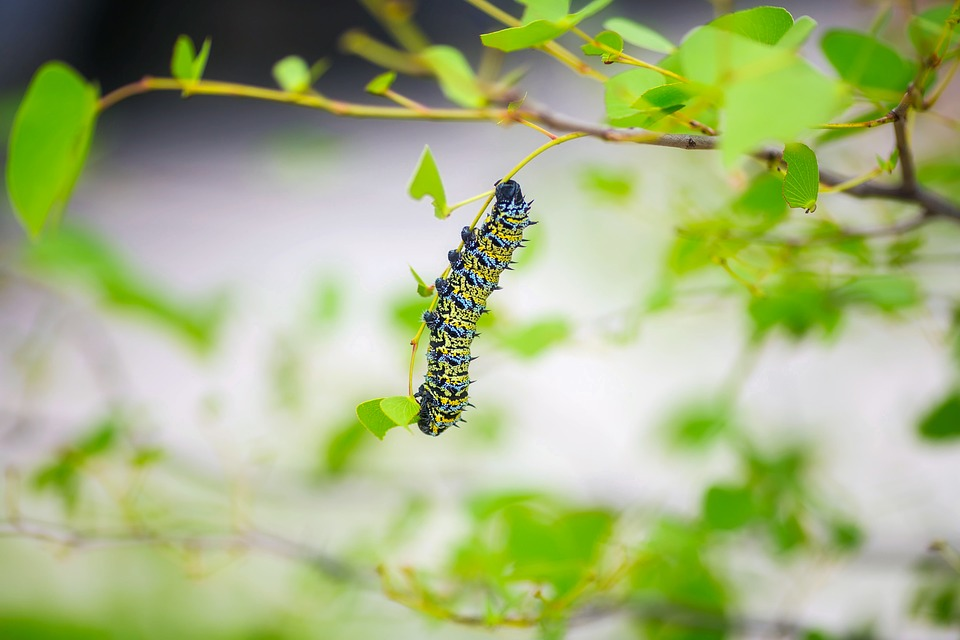 chenille plante guêpe