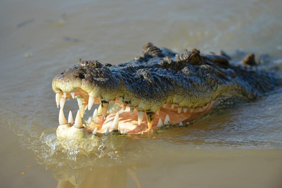 Crocodile animaux dangereux
