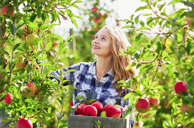 Cueillette de fruit femme pommes