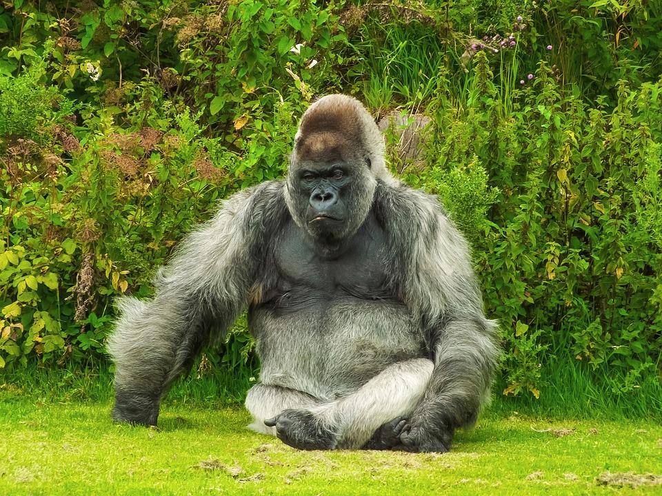 Gorille animaux dangereux