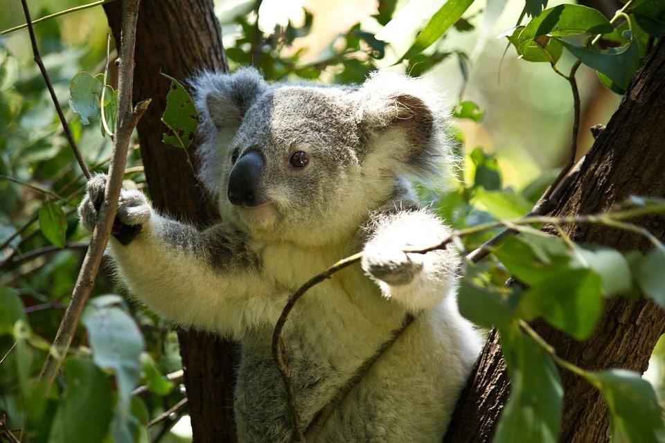 Koala anecdotes