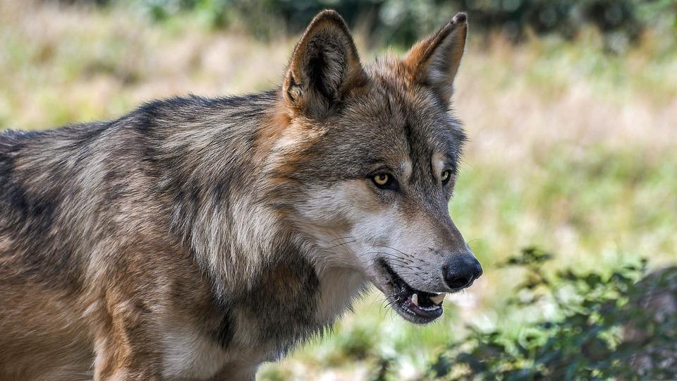 Loup animaux dangereux