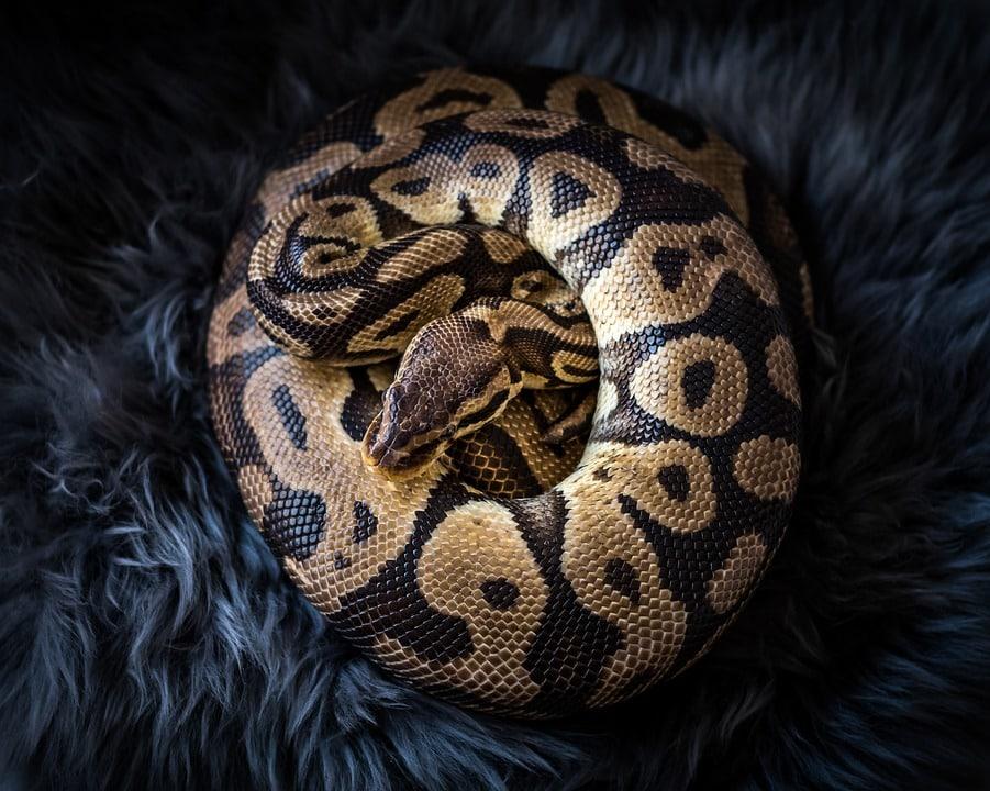 Python animaux dangereux