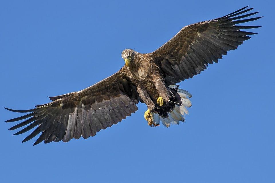 aigle animaux dangereux
