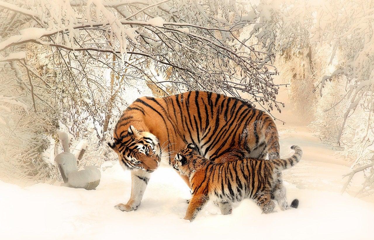 tigre placenta facons surprenantes de prendre soin de son corps