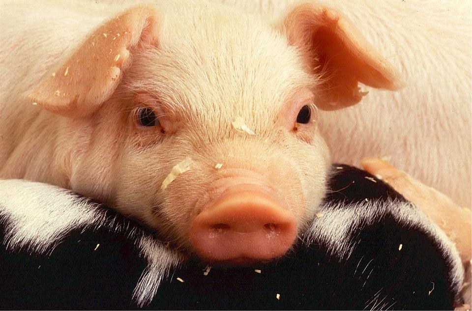 cochon porc perles d'écoliers