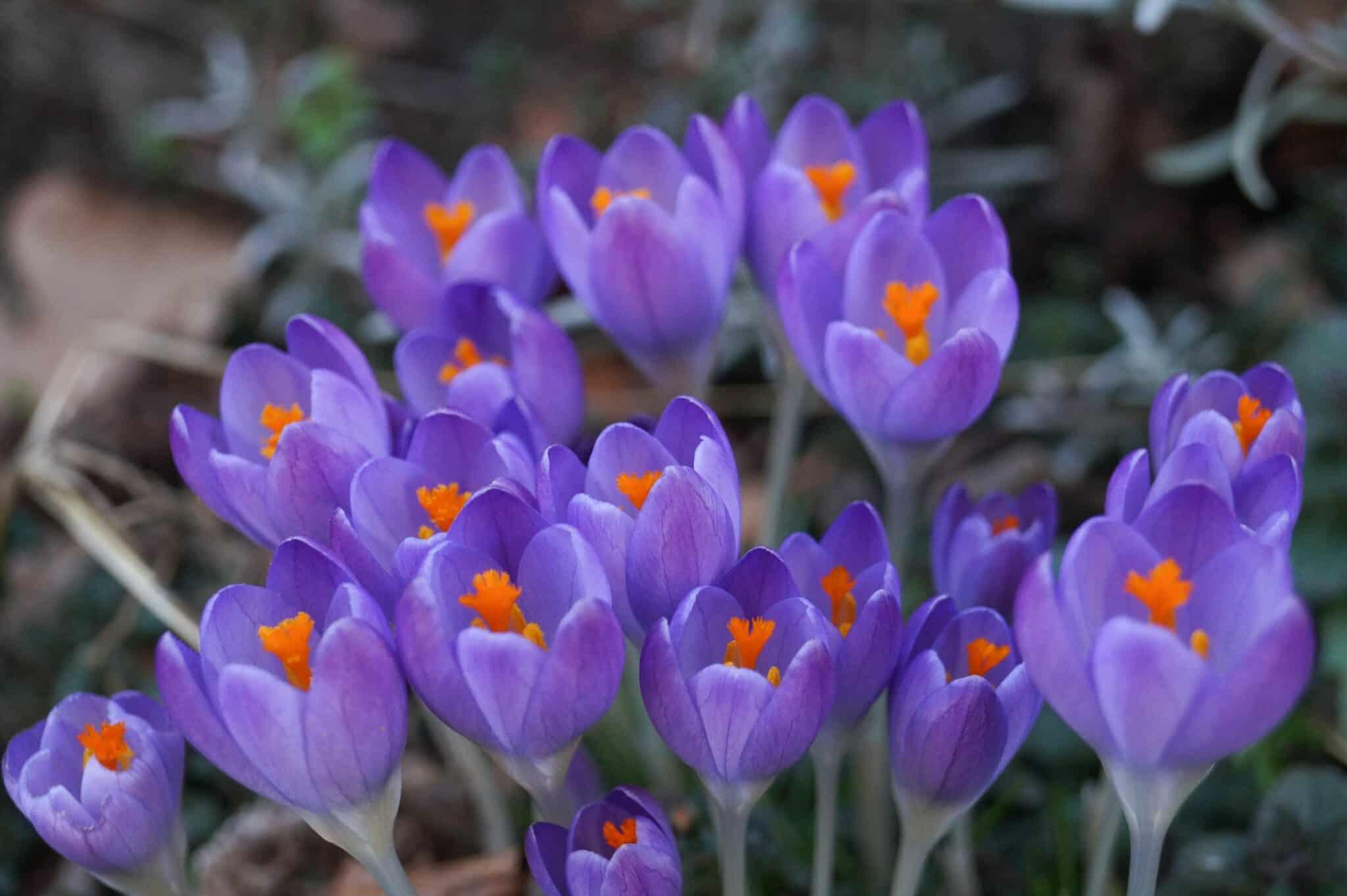 crocus symbolic flowers