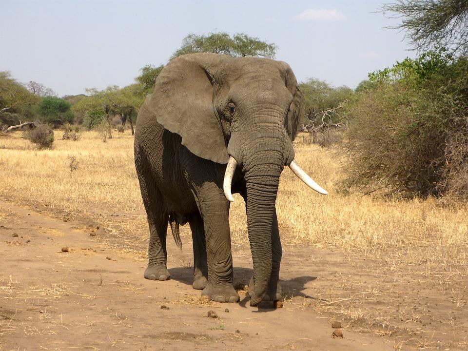 elephant animaux dangereux