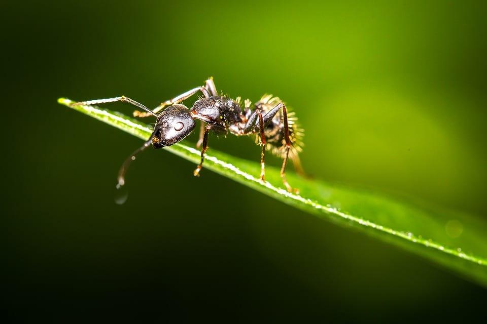 fourmi hauteur plante