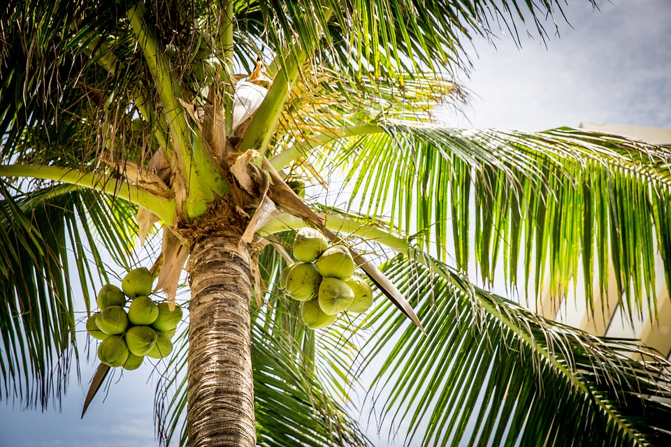 noix de coco plage palmier anecdotes