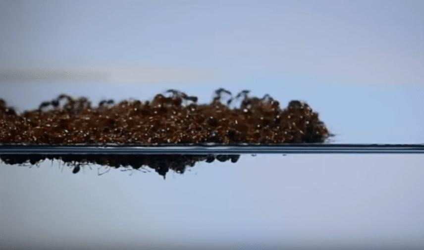 radeau fourmis