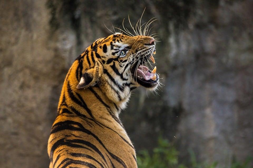 tigre rugit