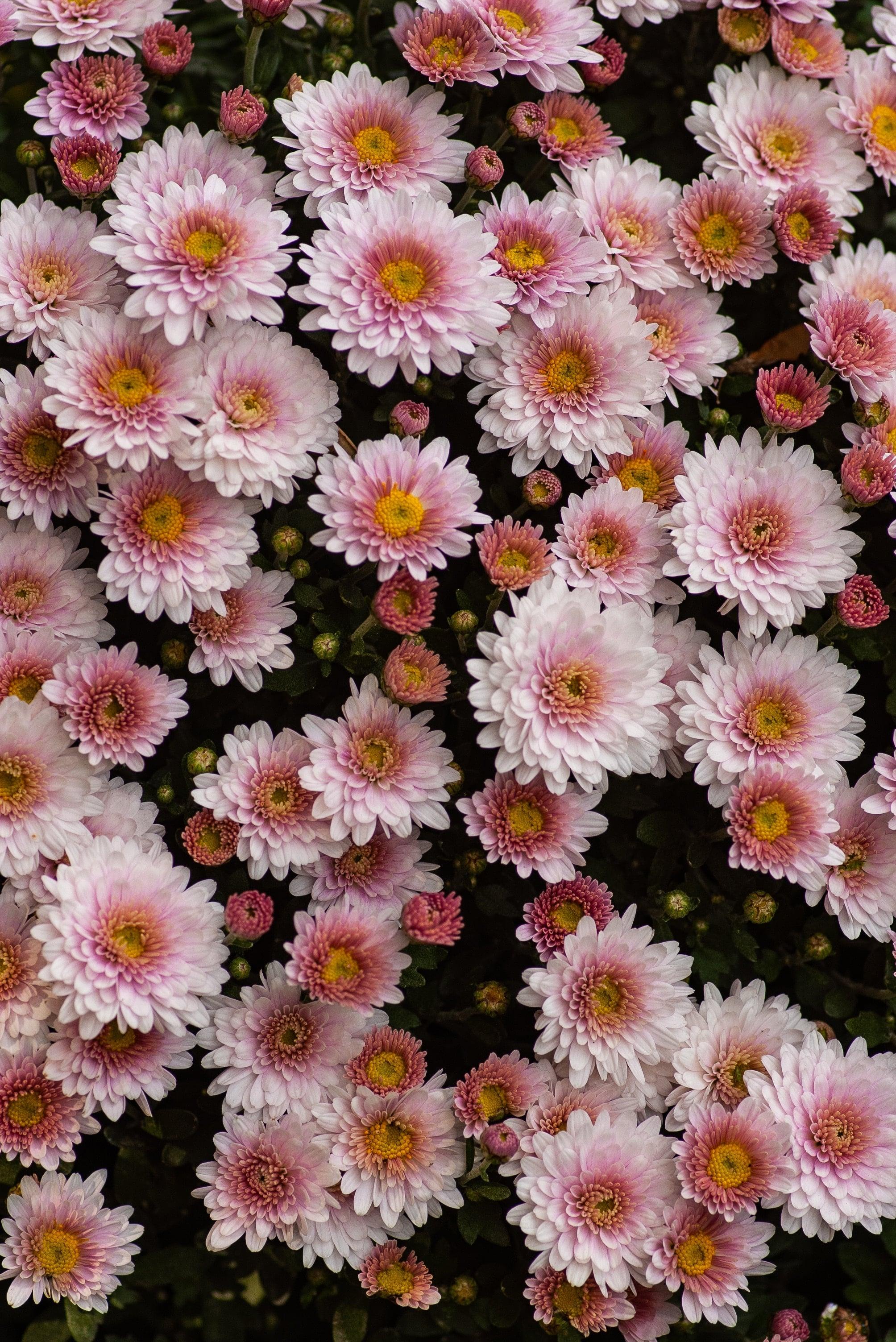 chrisantheme symbolique fleurs