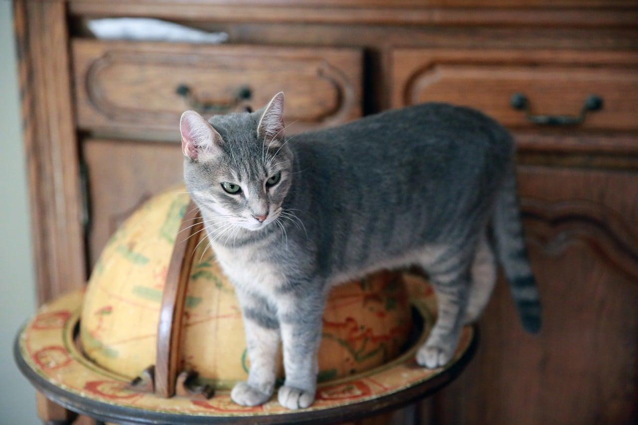 chat voyeur gris observe proces insolite