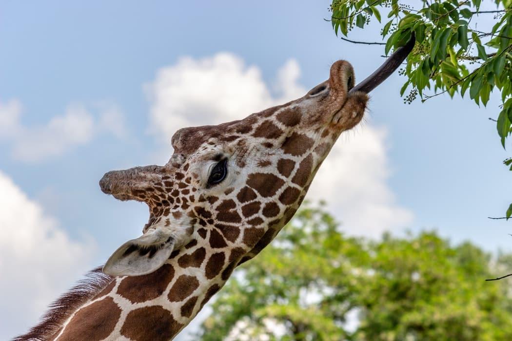 girafe qui mange plantes