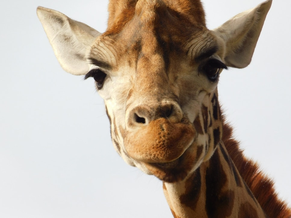 faits sur les girafes communication