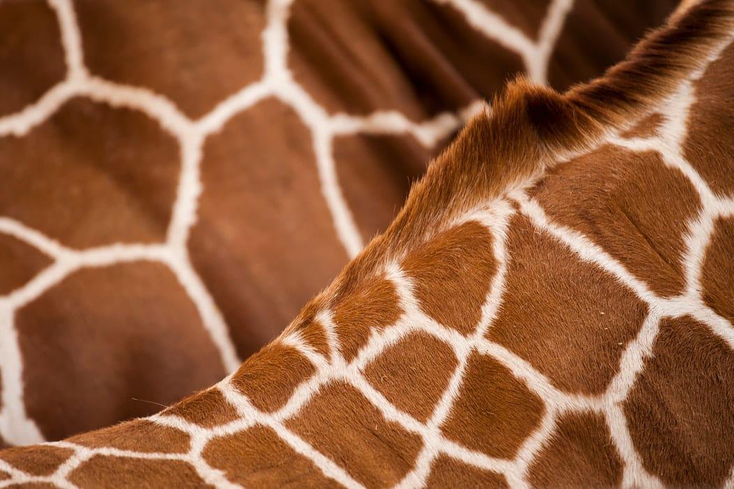 faits sur les girafes especes