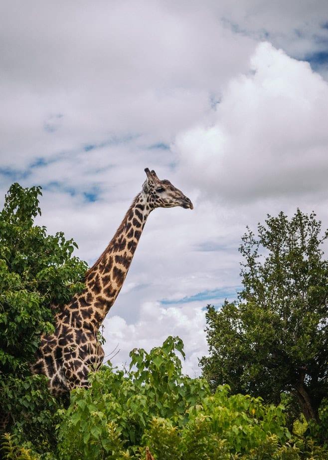 faits sur les giraffes male