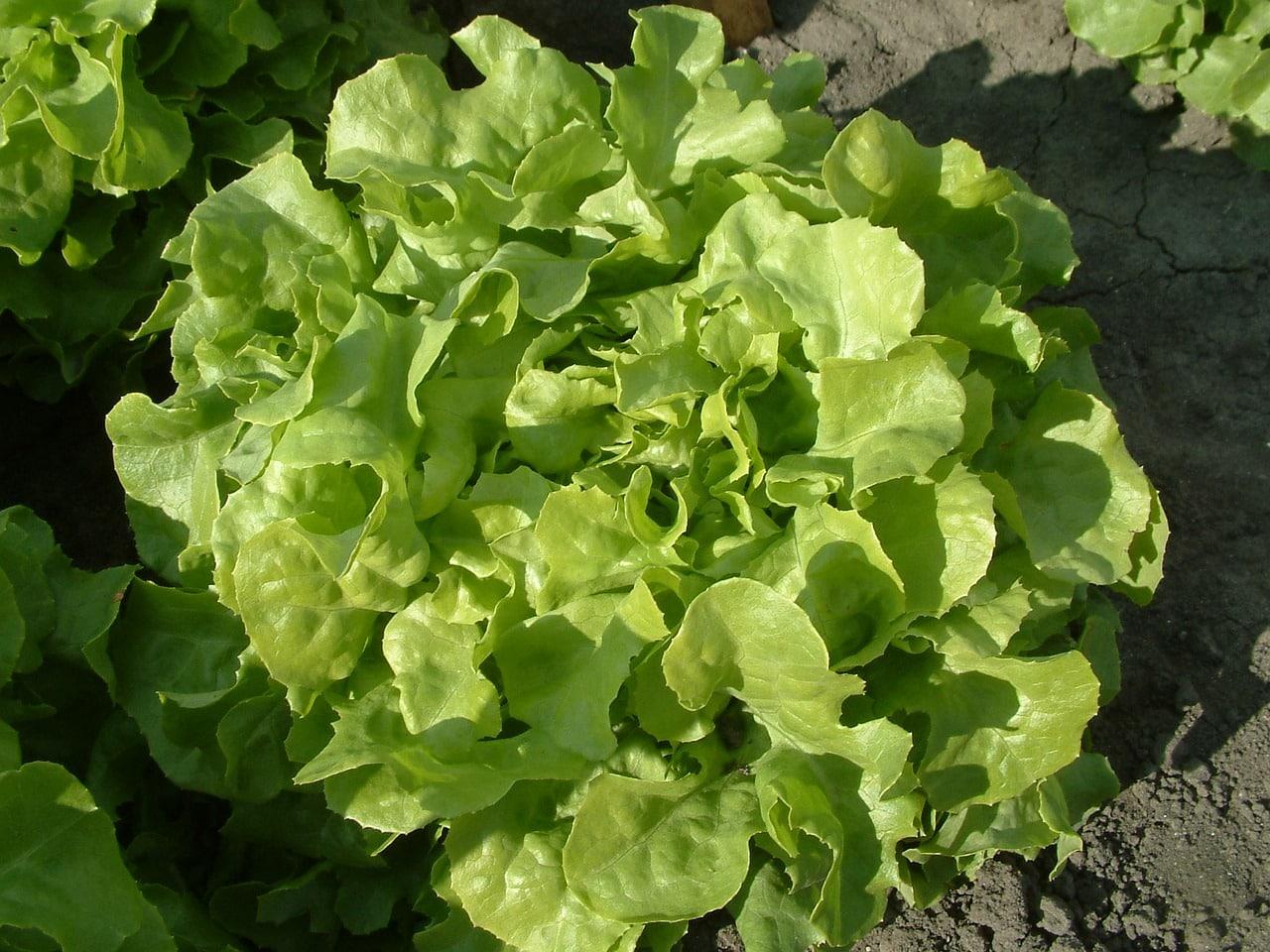 feuille de salade terre proces insolites