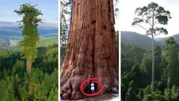 les plus grands arbres du monde