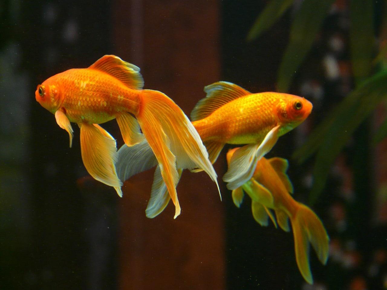 trois poissons rouge procès insolites