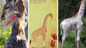 girafe histoire