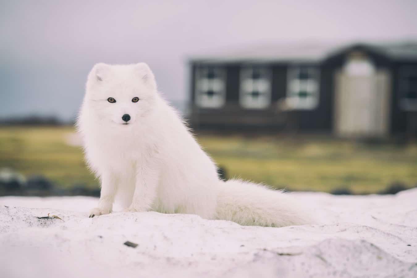 Renard des neiges animal nordique