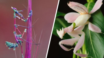 mante religieuse orchidée fleur cheval du diable tigre herbe