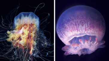 méduses venimeuse mortelles léthales dangereuses