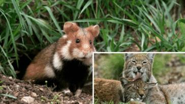 montage animaux espèces animales disparition extinction menacées