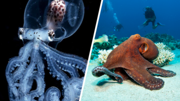 poulpes pieuvres tentacules faits étonnants mollusque