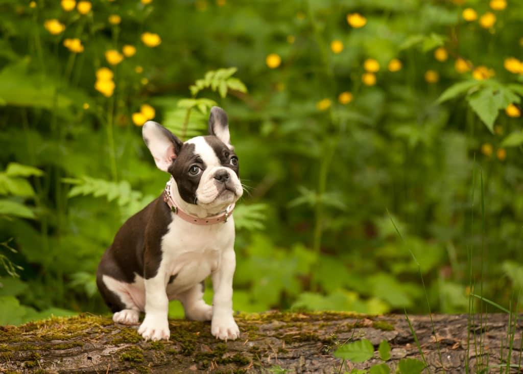 Pinscher Boston Terrier français Bulldog