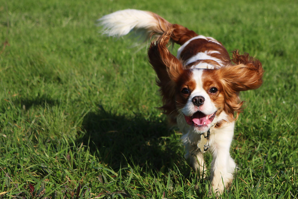 Cavalier King Charles races chiens