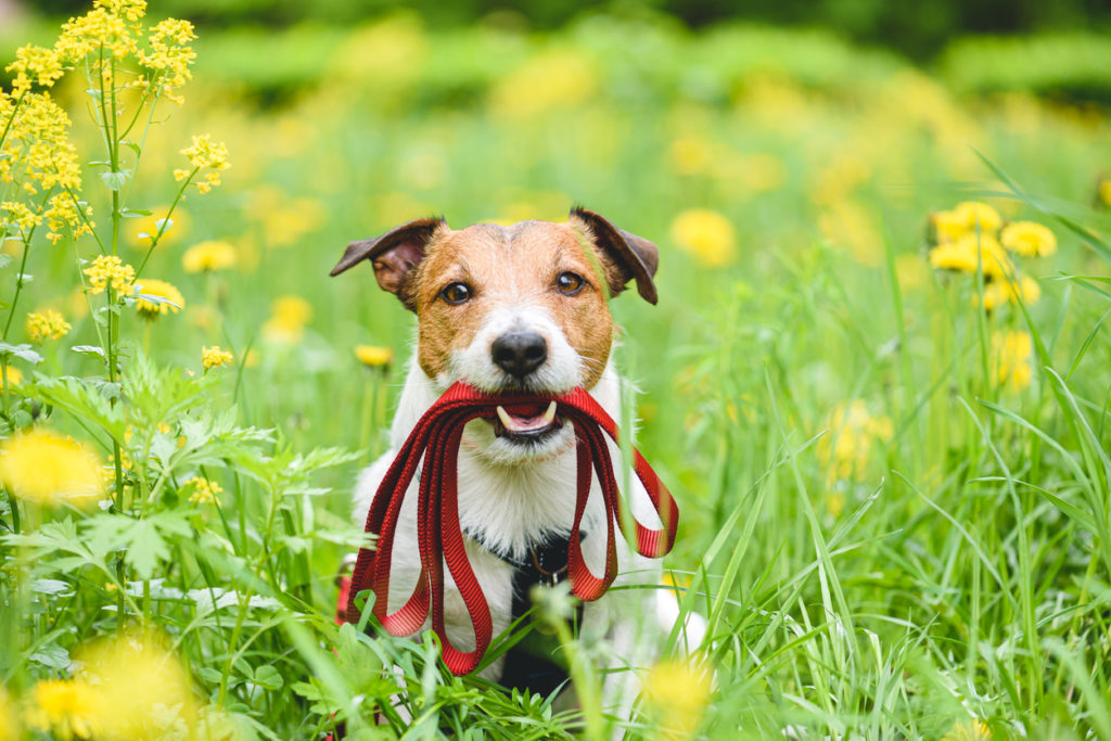 races petits chiens Jack Russell