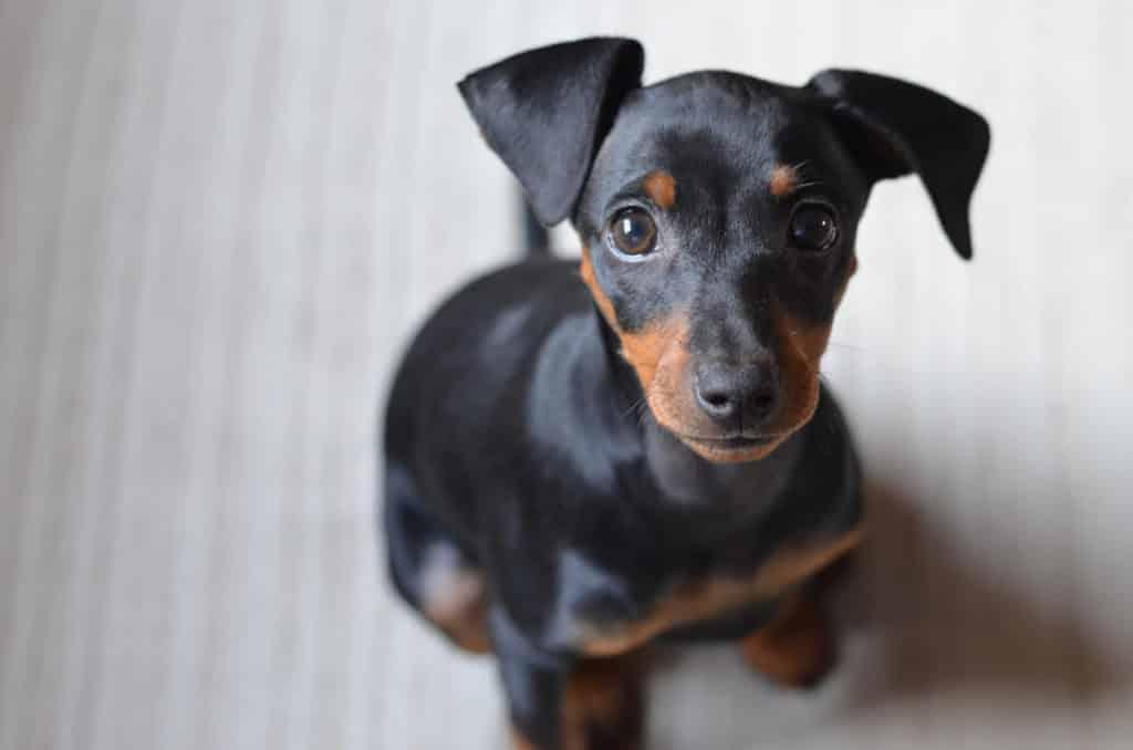 races petits chiens Pinscher nain