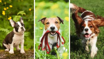 petites races de chiens mignons chiots craquer cœur